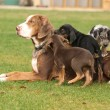 Постер, плакат: Louisiana Catahoula bitch with puppies