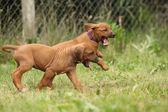 Rhodesian ridgeback pups — Stockfoto