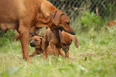 Rhodesian ridgeback bitch with puppy — Stock Photo