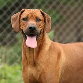 Ridgeback de rodesia perra — Foto de Stock