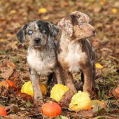 Louisiana Catahoula puppies with pumpkins in Autumn — Stock Photo