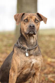 Louisiana Catahoula dog in Autumn — Stock Photo