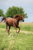 Nice Quarter horse stallion running on pasturage — Stock Photo