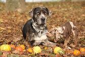 Louisiana Catahoula dog with adorable puppy — Stock Photo