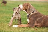 Louisiana Catahoula bitch with puppy — Stock Photo