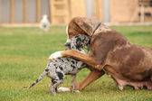 Louisiana Catahoula bitch with puppy — Stok fotoğraf