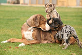 Louisiana Catahoula bitch with puppies — Stock Photo