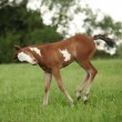 Nice Paint horse filly running on pasturage — Stock Photo