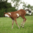 Stock Photo: Nice Paint horse filly running on pasturage