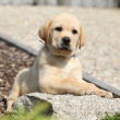 Adorable labrador retriever puppy lying on a stone — Stock Photo