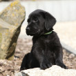 Adorable labrador retriever puppy lying on a stone - Stock Photo