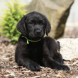 Black labrador retriever puppy lying — Stock Photo