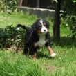 Bernese Mountain Dog puppy in the garden - Stock Photo