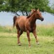 Nice Quarter horse stallion running on pasturage - Stock Photo