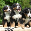 Three Bernese Mountain Dog puppies sitting - Stock Photo