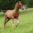 Stock Photo: Filly of sorrel solid paint horse running