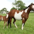 Nice Paint horse mare with filly — Stock Photo