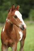Portrait of nice Paint horse filly — Stock Photo