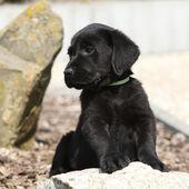 Adorable labrador retriever welpe, liegend auf einem stein — Stockfoto