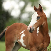 Portrait of nice Paint horse filly with blue eye — Stock Photo