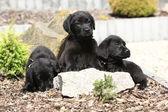 Three black labrador retriever puppies — Zdjęcie stockowe