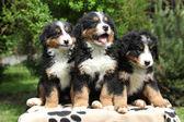 Three Bernese Mountain Dog puppies sitting — Stock Photo