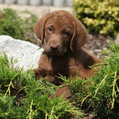 Chesapeake Bay Retriever puppy in beautiful garden — Stock Photo