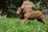 Chesapeake Bay Retriever running in garden — Stock Photo