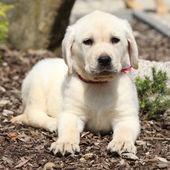 あなたを見て豪華なラブラドル ・ レトリーバー犬子犬 — ストック写真