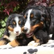 Bernese Mountain Dog bitch checking out its puppy — Stock Photo #23820301