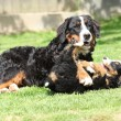 Bernese Mountain Dog bitch playing with puppy — Stok fotoğraf