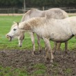 Stock Photo: White pony in mud yawn