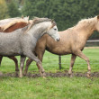 Welsh ponnies running in autumn — ストック写真