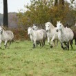 Welsh mountain ponnies running in autumn — ストック写真