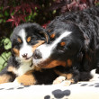 Bernese Mountain Dog bitch with puppy on blanket — Stock Photo #23821901