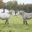 Welsh mountain ponnies in autumn — ストック写真