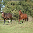 Two horses running on pasturage — ストック写真