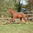 Warmblood horse running on pasturage — ストック写真