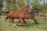 Warmblood horses running on pasturage — Stock Photo