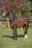 Nice brown warmblood in autumn — Stock Photo
