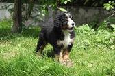 Bernese Mountain Dog puppy in the garden — Stock Photo