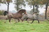 Two beautiful pony stallions in autumn — Stock Photo