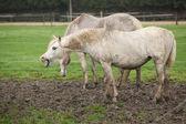 White pony in mud yawn — Stock Photo