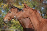 Portrait of two horses on pasturage — Stock Photo