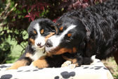 Bernese Mountain Dog bitch with puppy on blanket — Stock Photo