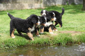 Group of Bernese Mountain Dog puppies — Stock Photo