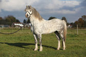Nice welsh mountain pony stallion with halter — Stock Photo