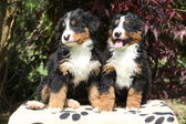 Two Bernese Mountain Dog puppies in front of dark red leaves — Stock Photo