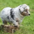 Adorable australian shepherd puppy behind tree stump — Foto Stock
