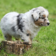 Adorable australian shepherd puppy behind tree stump — ストック写真